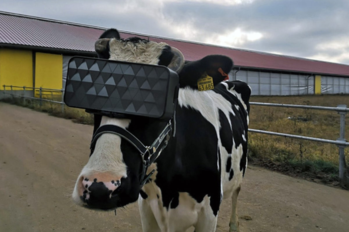 The Russians created the first VR glasses for cows. Will they go a step further and create attractive 3D cow models for bulls to increase reproduction?